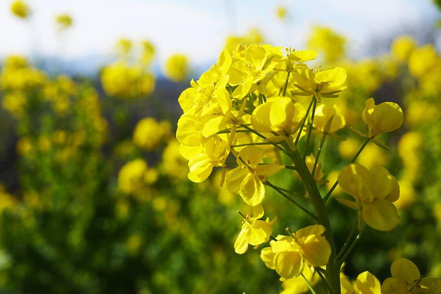 二宮吾妻山の菜の花