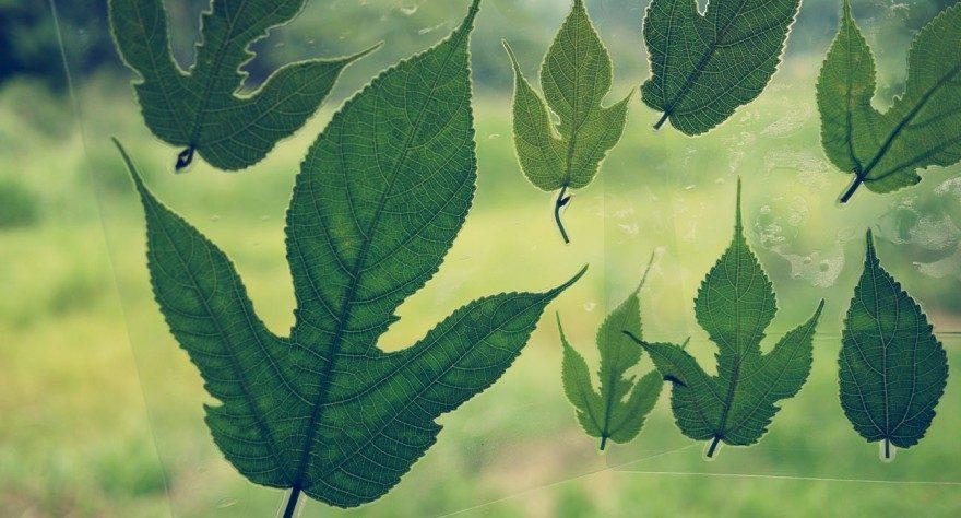 コウゾの葉っぱのラミネート